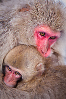 A snow monkey mom holds on tightly to her young one, Jigokudani National Park, Nagano, Japan