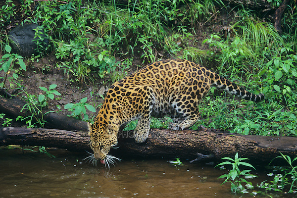 Amur Leopard (Panthera pardus orientalis), adult drinking, captive, USA