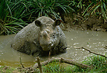 Javan Rhinoceros' live in and near the waters of the rainforests of Java and Vietnam, but very few survive today.