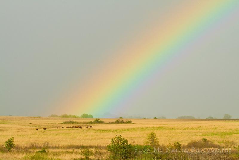 Rainbow falling on the bison herd along the prairie hillside