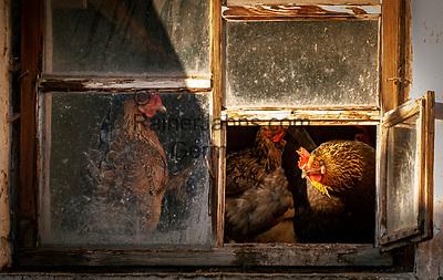 Italien, Suedtirol (Trentino - Alto Adige), Gadertal, Weiler Tolpei  in Alt-Wengen (La Valle): artgerechte Federviehhaltung - Huehnerstall mit offenem Fenster | Italy, South Tyrol (Trentino - Alto Adige), Gader Valley, hamlet Tolpei in Old-La Valle: animal welfare - chicken house with open window