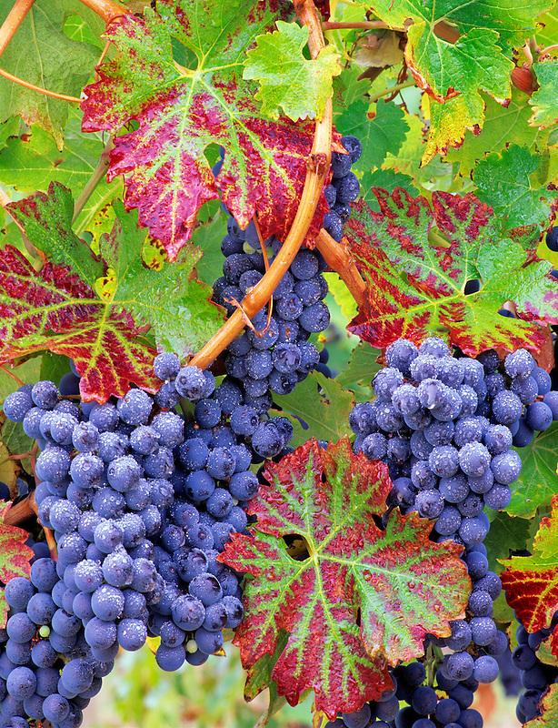 Grapes (cabernet sauvignon) with fall color. Alpine Vineyards, Oregon.