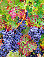Grapes (cabernet sauvignon) with fall color. Alpine Vineyards, Oregon.