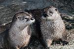 North American River Otter 2 shot medium view
