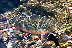 Eastern Brook Trout female on gravel stream bottom