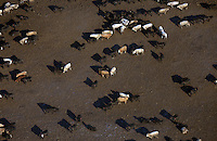 Cows in the feedlot. Colorado