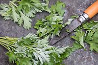 Beifuss-Ernte, Beifussernte, Beifuß-Ernte, Ernte der jungen Blätter im Frühjahr, Blatt, Blätter, werden mit einem Messer zerkleinert, Kräuterernte, Kräuter sammeln, Beifuß, Gewöhnlicher Beifuß, Beifuss, Artemisia vulgaris, Mugwort, common wormwood, wild wormwood, wormwood. L'Armoise commune, L'Armoise citronnelle