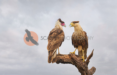 adult and juvenile Crested caracara