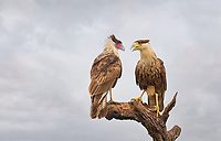 Adult and Juvenile Crested Caracara perched facing each other on bare limb