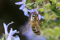A bee gathering nectar from a rosemary bush flower.///Butinage d'une abeille sur une fleur de Romarin.