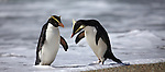 fiordland crested penguins / tawaki