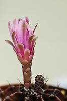 Borzicactus sepium