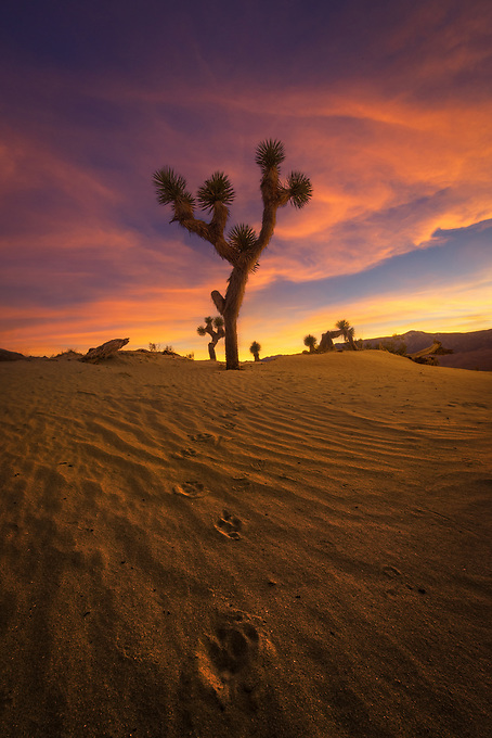 Coyote tracks in the Mohave desert dunes lead to a lone Joshua Tree, illuminated by the side light of the setting sun.