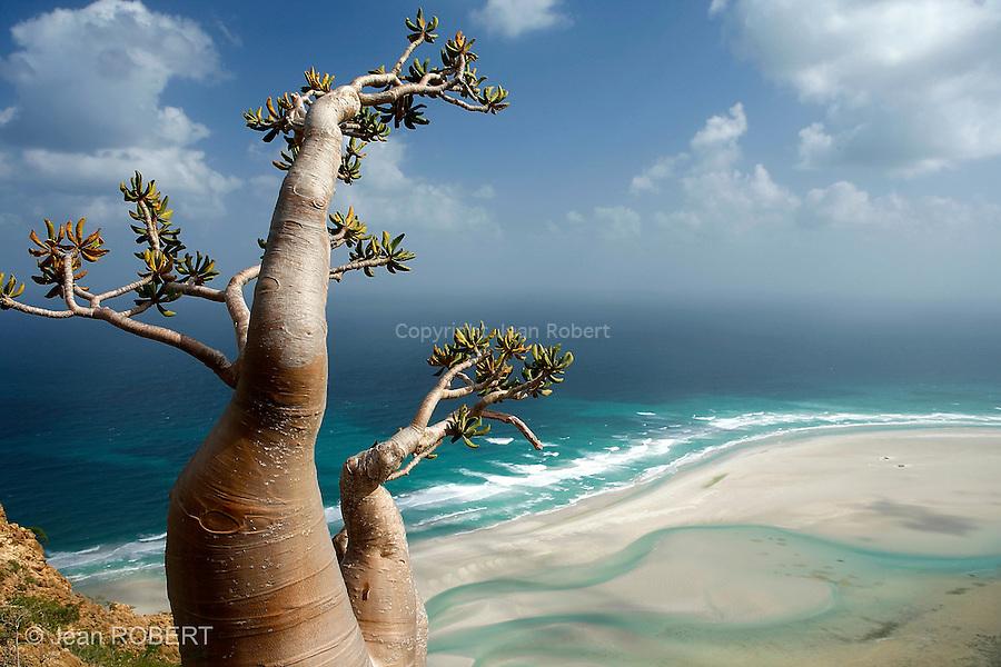 Un arbre bouteille ou (Adenium Obesium sokotranum) domine le lagon de Qalansiyah au nord ouest de l'Ile de Socotra. Yemen..Lovée dans l'Océan Indien, face à la Corne de l'Afrique, l'île de Socotra abrite près de 300 plantes endémiques dont les derniers dragonniers et encensiers de la planète. Célèbre dès l'Antiquité pour sa mystérieuse flore, l'île a sombré dans l'oubli pendant des siècles. Aujourd'hui classée au patrimoine mondial de l'Unesco, elle fascine et bouleverse les voyageurs épris de nature. ..Socotran desert rose (Adenium Obesium sokotranum) above qalansiyah lagoon. Nested in the Arabian sea, Socotra is the forgotten diamond of Yemen. The island known as Dioscodira by the Romans and Greeks is a paradise for ecotourism and  plant lovers. Must be discovered fast !