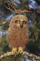 Great Horned Owl (Bubo virginianus), young fledling, Starr County, Rio Grande Valley, Texas, USA