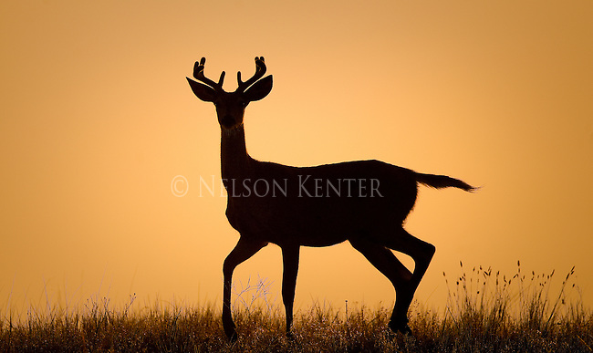 Young whitetail buck silhouetted against an orange sky just before sunrise in Montana