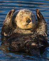 Sea Otter (Enhydra lutris) resting. California coast.