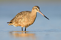 Marbled Godwit (Limosa fedoa). Fort Desoto State Park, Florida. March.