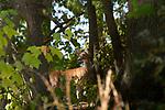 Deer in woods 10-18-19-9815