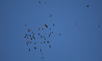 Pictured: A bird of prey is attacked by other smaller birds in the sky above the search of the new site in Kos, Greece. Friday 07 October 2016<br /> Re: Police teams led by South Yorkshire Police, searching for missing toddler Ben Needham on the Greek island of Kos have moved to a new area in the field they are searching.<br /> Ben, from Sheffield, was 21 months old when he disappeared on 24 July 1991 during a family holiday.<br /> Digging has begun at a new site after a fresh line of inquiry suggested he could have been crushed by a digger.