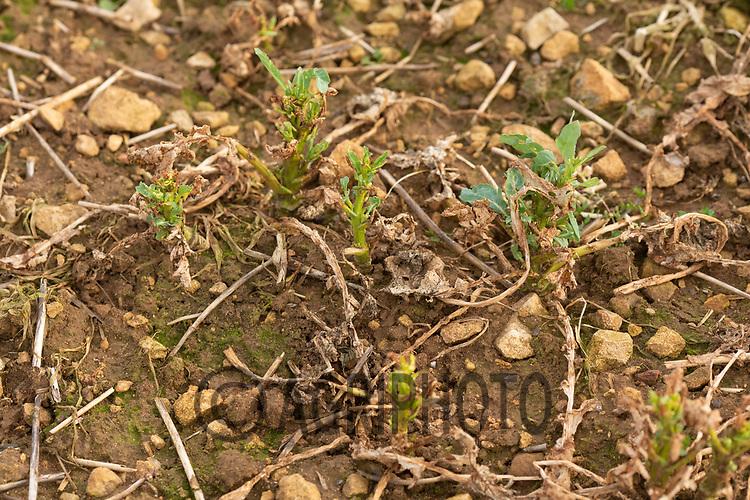 16-3-2021 Struggling oilseed rape plants due to flea beetle damage.<br /> ©Tim Scrivener Photographer 07850 303986<br />      ....Covering Agriculture In The UK....
