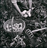 Europe/France/Nord-Pas-de-Calais/59/Nord/Méteren: Récolte des pommes de terre par l'entreprise Asseman