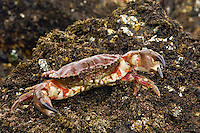 Rock Crab (Cancer antennarius).  Oregon coast.