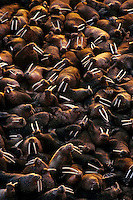 Walrus bulls (Odobenus rosmarus) hauled out along the Alaska Peninsula's Bering Sea coast.  Summer.