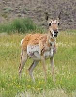 Pregnant pronghorn doe