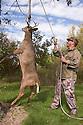 00273-035.16 White-tailed Deer Hunting: (Digital) Hunter is hoisting a buck to prepare for skinning.  V5L1