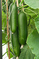 Cucumbers - grafted