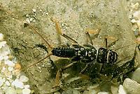 PL01-004z  Stonefly - nymph in freshwater pond