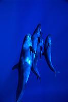 Pseudorca crassidens, Pacific Ocean, USA, Hawaii, The False Killer whale