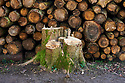 Chopped up logs from trees in a  Cotswold Village  CREDIT Geraint Lewis