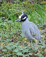 Yellow-crowned Night Heron, Brazos Bend State Park, TX