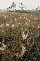 Spider webs and slash pine<br /> The Everglades<br /> Everglades National Park<br /> Florida
