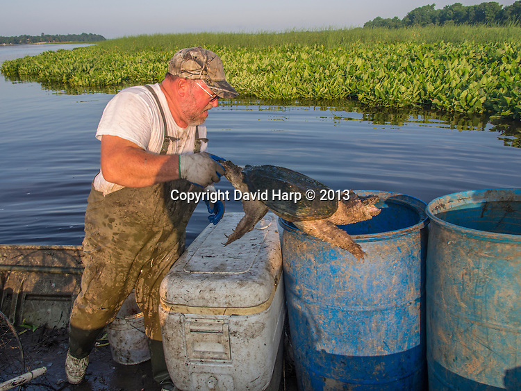 Tom Caraker sets and checks his fyke nets for snapping turtles in small creeks of the upper Choptank River.