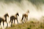 Wild horses run through the dust at Oregon's Jordan Valley Big Loop Rodeo, ..