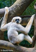 0305-1102  White-cheeked Gibbon, Nomascus sp.  © David Kuhn/Dwight Kuhn Photography
