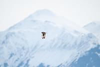 Short-Eared Owl, Southcentral Alaska.