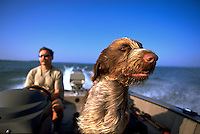 A German wirehair dog braves the wind as it rides in a motorboat with a man.