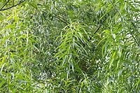 Korb-Weide, Korbweide, Hanf-Weide, Weide, Salix viminalis, basket willow, common osier, osier, Le saule des vanniers, vime, osier vert. Blatt, Blätter, leaf, leaves