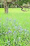 Great Camas flowers and Oregon oak at Mount Pisgah Arboretum, Lane County, Oregon.