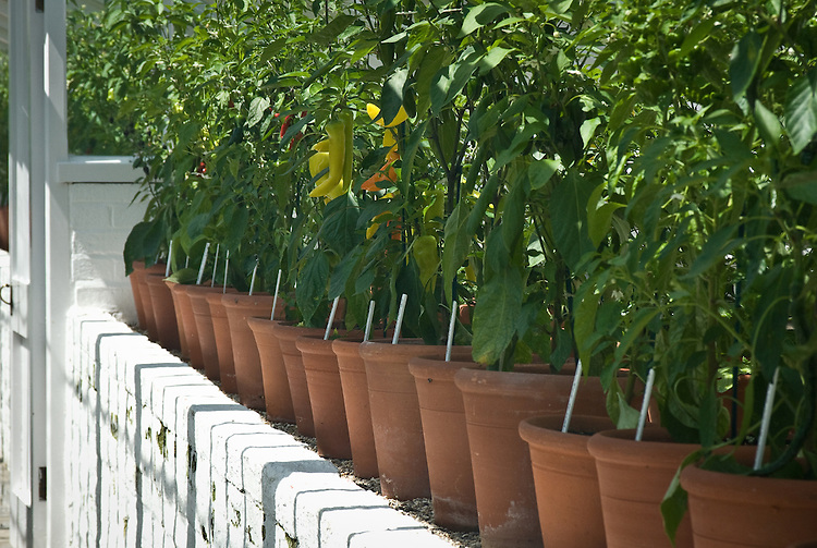 A row of container-grown chillies in a traditional greenhouse, early July.