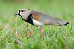 Male Southern Lapwing (Vanellus chilensis) displaying in open grasslands. Chapada dos Guimarães, Brazil.