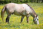Brazoria County, Damon, Texas; a white horse in a field of yellow wildflowers