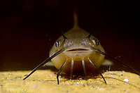 CF01-002z  Catfish young with barbels - Ictalurus spp.