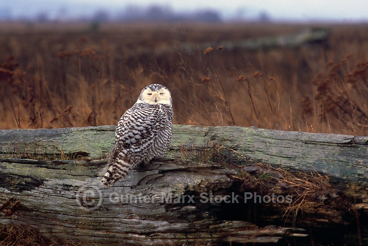 Snowy Owl (Bubo scandiacus) Female or Juvenile, sitting on Log at Boundary Bay Regional Park, Delta, BC, British Columbia, Canada - aka Arctic Owl, Great White Owl or Harfang. Note Owl Head rotated almost 180 degrees.