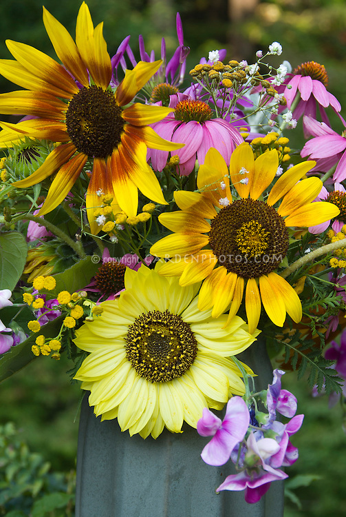 Helianthus sunflowers cut flowers vase