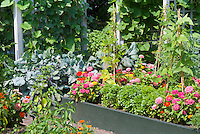 Raised bed vegetable, herb and flower garden with zinnias, Ocimum basil, trellised climbing beans, cabbage Brassica, peppers